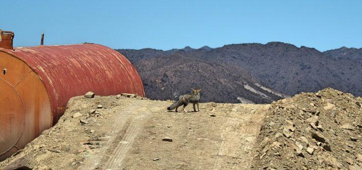 Desert Fox   Argentina   zenmotero